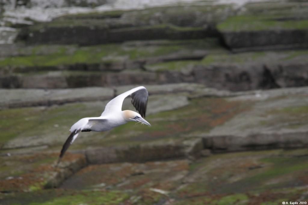02 Gannet (Basstölpel) Ilse of Noss, Shetland